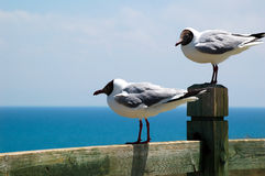 Brown-headed gulls Stock Photography