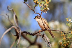 Brown-headed Honeyeater Royalty Free Stock Photography