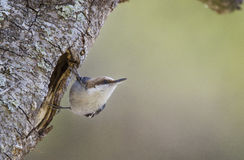 Brown-headed Nuthatch bird, Monroe, Georgia, USA. Brown Headed Nuthatch songbird, Sitta pusilla, nest cavity, backyard birding, Monroe, Walton County, Georgia royalty free stock photos