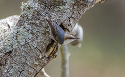 Brown-headed Nuthatch bird, Walton County Monroe Georgia Stock Image