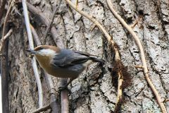 Brown-headed Nuthatch Sitta pusilla. Brown-headed Nuthatch climbing on a tree.  This tiny songbird with a squeaky call is native to the southeastern United Stock Photo