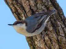 Brown Headed Nuthatch Stock Photo
