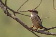 Brown-headed Paradise Kingfisher (Tanysiptera danae) Stock Images