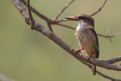 Brown-headed Paradise Kingfisher (Tanysiptera danae) Royalty Free Stock Image