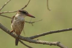 Brown-headed Paradise Kingfisher (Tanysiptera danae) Stock Image