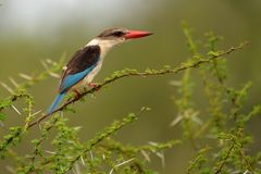 Brown-headed Paradise Kingfisher (Tanysiptera danae) Stock Photos