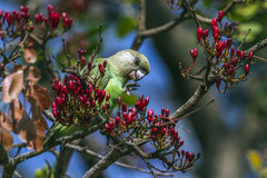 Brown-headed Parrot in Kruger National park, South Africa Stock Image