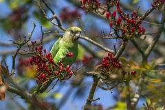 Brown-headed Parrot in Kruger National park, South Africa Royalty Free Stock Photos