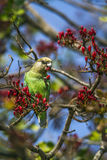 Brown-headed Parrot in Kruger National park, South Africa Stock Photo