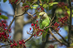 Brown-headed Parrot in Kruger National park, South Africa Stock Images