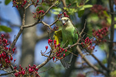 Brown-headed Parrot in Kruger National park, South Africa Royalty Free Stock Image