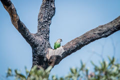 Brown-headed parrot in a tree. Royalty Free Stock Photo