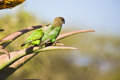Brown Headed Parrots Royalty Free Stock Photography