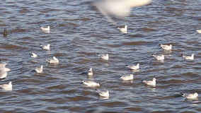 Brown-headed seagull birds (Larus brunnicephalus) flying near sea stock video footage