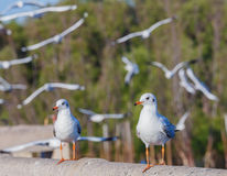 Brown-headed seagulls Royalty Free Stock Images