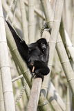 Brown-headed spider monkey Royalty Free Stock Photos