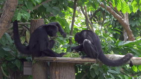 Monkeys 4k. Two brown-headed spider monkeys are feeding at Singapore Zoo (Ateles fusciceps fusciceps). It is a critically endangered species, and a stock video