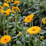 Brown hearted gerbera flowers with yellow petals from close. Closeup of budding and flowering Gerbera flowers in the glasshouse of  a specialized Dutch Gerbera Stock Image