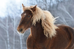 Brown heavy horse portrait in motion. Brown Soviet heavy horse portrait in motion Stock Image