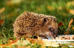 Brown Hedgehog Eating on Green Grass Royalty Free Stock Photos