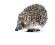 Brown hedgehog on a white background Stock Photo