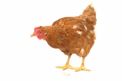 Brown  hen Royalty Free Stock Photos