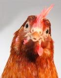 Brown hen. Studio shot of the brown hen Stock Photo