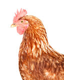 Brown Hen. Portrait of a brown hen on white Stock Image