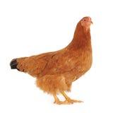 Brown hen Stock Image