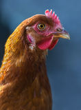 Brown hen on the blue background Royalty Free Stock Photo