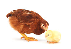 Brown hen and chick Royalty Free Stock Photos