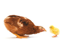 Brown hen and chick Stock Images