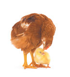 Brown hen and chick Stock Photography