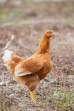 Brown hen chicken standing in field use for farm animals, livest Stock Photography