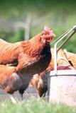 Brown Hen Drinking 2 imagenes de archivo