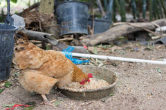 Brown hen eating rice mixed feed Royalty Free Stock Image