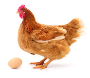 Brown hen and egg. Brown hen and egg isolated on white background Stock Photo