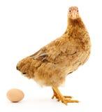 Brown hen with egg. Stock Photos