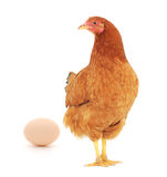 Brown hen with egg. On white, studio shot Stock Images