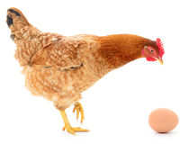 Brown hen with egg. Brown hen with egg on white, studio shot Stock Photo