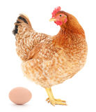 Brown hen with egg. Stock Photos
