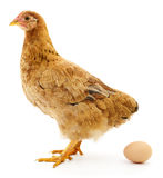 Brown hen with egg. Stock Photography