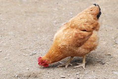 The brown hen is foraging Royalty Free Stock Photography