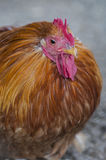 Brown Hen. A free-range chicken in the country royalty free stock photos