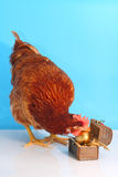 Brown hen with golden Easter egg stock images