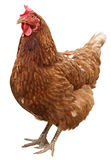 Brown hen isolated on  white background Royalty Free Stock Photos