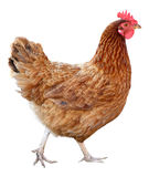 Brown hen isolated on white background. Stock Images