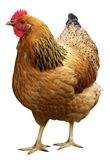 Brown hen isolated on a white background. Royalty Free Stock Photography