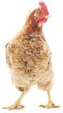 Brown hen Stock Images
