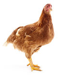 Brown hen isolated. Stock Photos